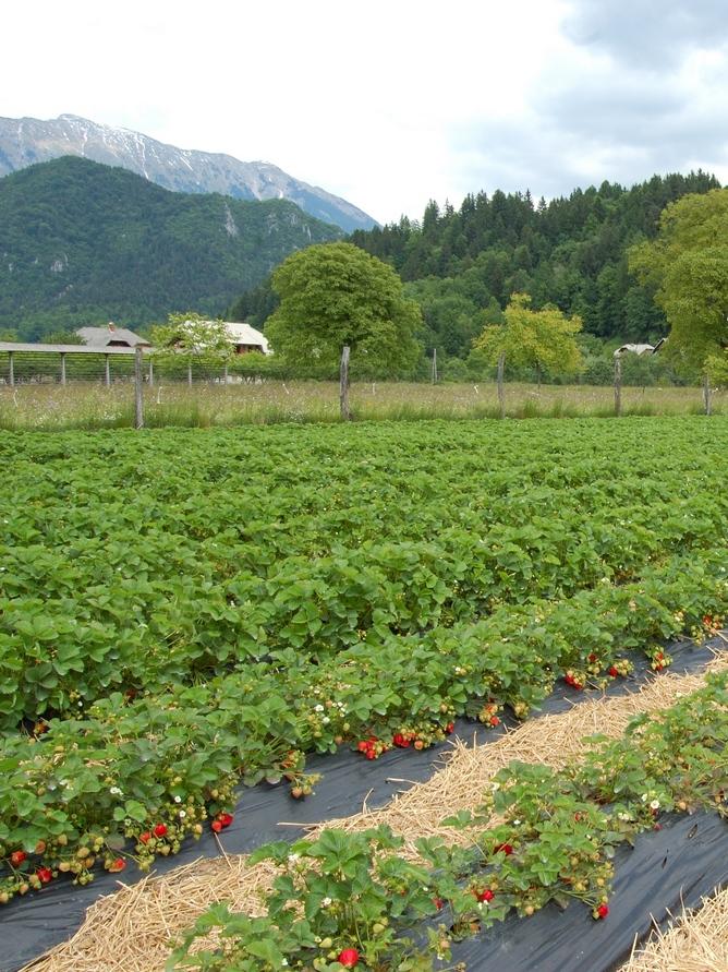 Flaska Strawberry Fields
